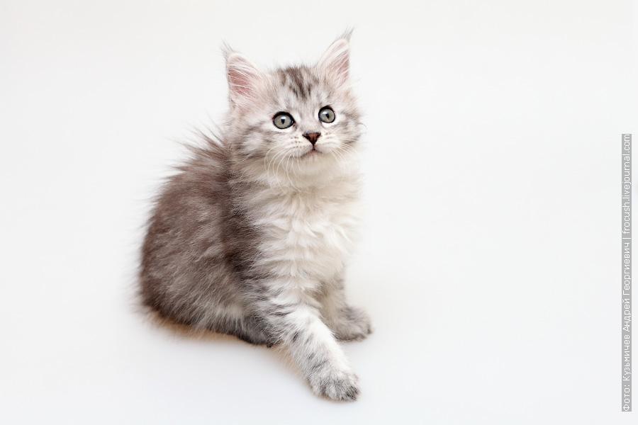 фотография котенка Мейн-кун