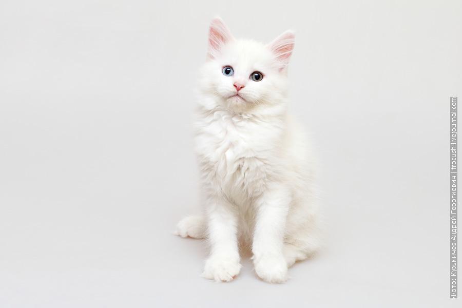двухмесячный белый котенок Мейн-кун фото