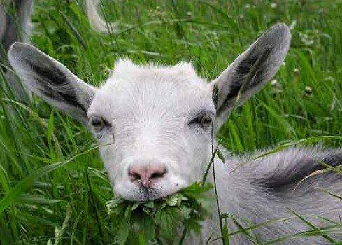 трансгенная коза