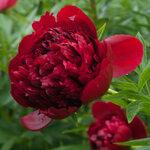 Календарь цветения пионов 2012г 0_6ff7b_a2efce22_S