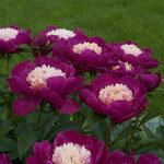 Календарь цветения пионов 2012г 0_6ffbb_4948937d_S