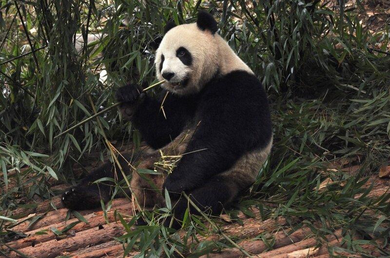 Переевшая панда
