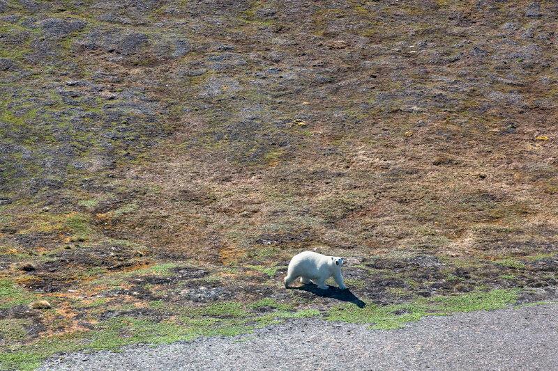 Белый медведь на Новой Земле
