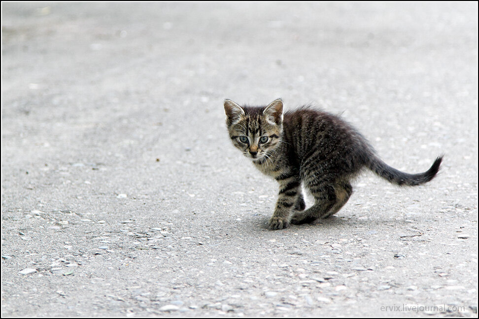 Уссурийский тигр, только маленький