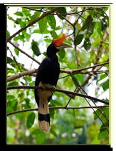 Малайзия. о.Борнео. Great Hornbill photographed in Borneo, Malaysia. Фото kjorgen - Depositphotos