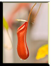 Малайзия. о.Борнео. Nepenthes. Фото kirinaliza - Depositphotos
