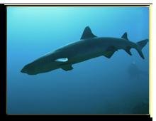 Малайзия. о.Борнео. Scuba diver behind white tip reef shark sipadan in sabah borneo. Фото donsimon - Depositphotos