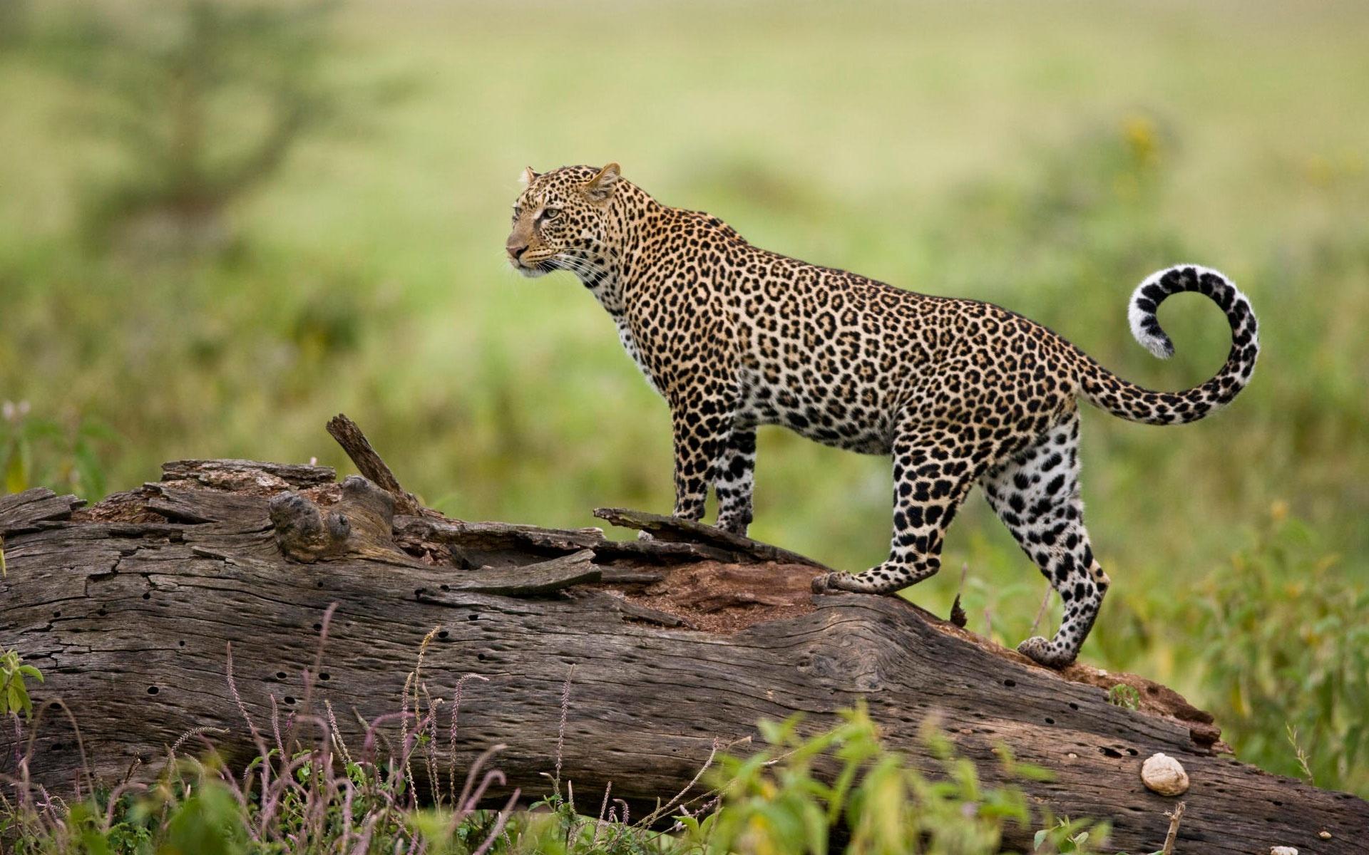 b94422a44409 Череп у дымчатого леопарда удлиненный, что отличает его от остальных кошек.  Клыки у него больше, чем у остальных кошек в пропорции к размерам тела.