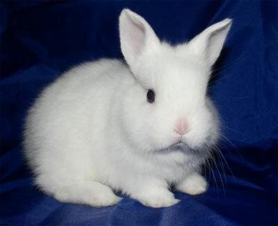 белый кролик декоративный фото