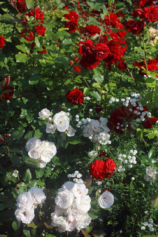 Сад роз Людмилы Милаглы
