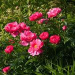 Календарь цветения пионов 2012г 0_6ff8f_60e0aa0e_S