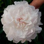 Календарь цветения пионов 2012г 0_6ffd6_983fa792_S