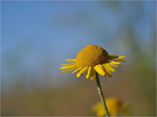Пупавка красильная (Anthemis tinctoria) Автор фото: Владимир Брюхов
