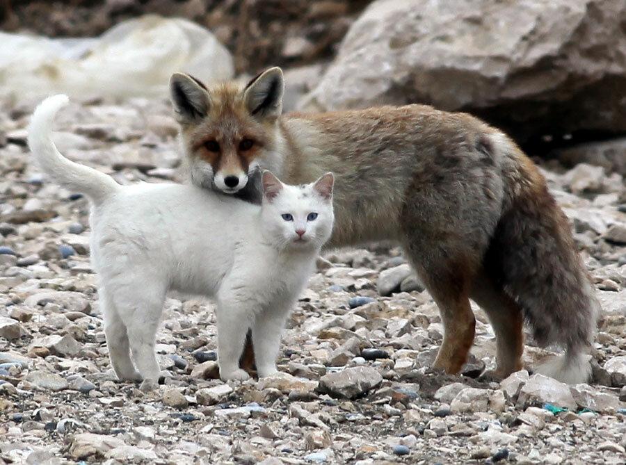 Кот с лисой друзья