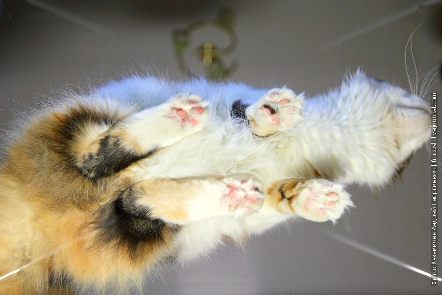 кошка мейн-кун вид снизу