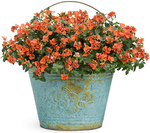 Flirtation-Orange-Twinspur-Diascia-hybrid-normal.png
