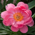 Календарь цветения пионов 2012г 0_6ff6e_3452d2a8_S