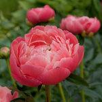 Календарь цветения пионов 2012г 0_6ffc2_24ad700f_S