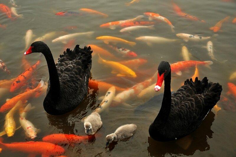 Рыбы и лебеди