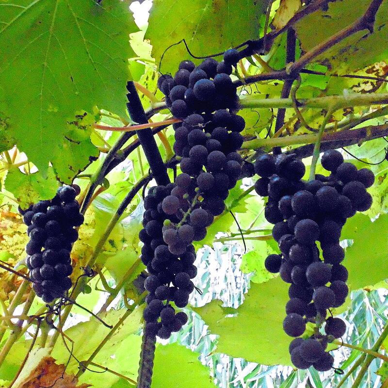Осенние дары райского садика с.Остров, виноград