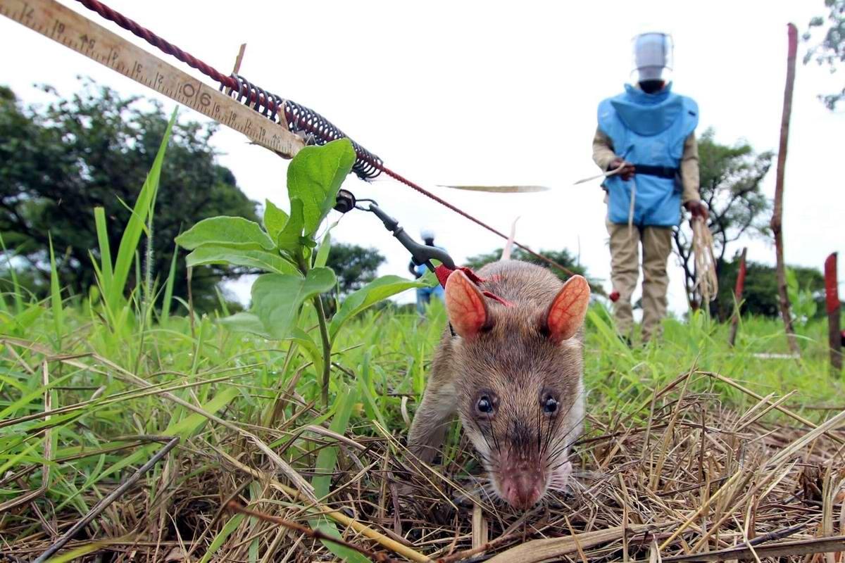 Гамбийские крысы, как лучшие саперы и вынюхиватели противопехотных мин (9)