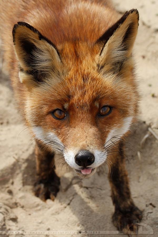 Красавицы-лисы