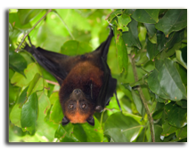 Малайзия. Flying fox bat hanging in mango tree branch. Фото smithore -Depositphotos