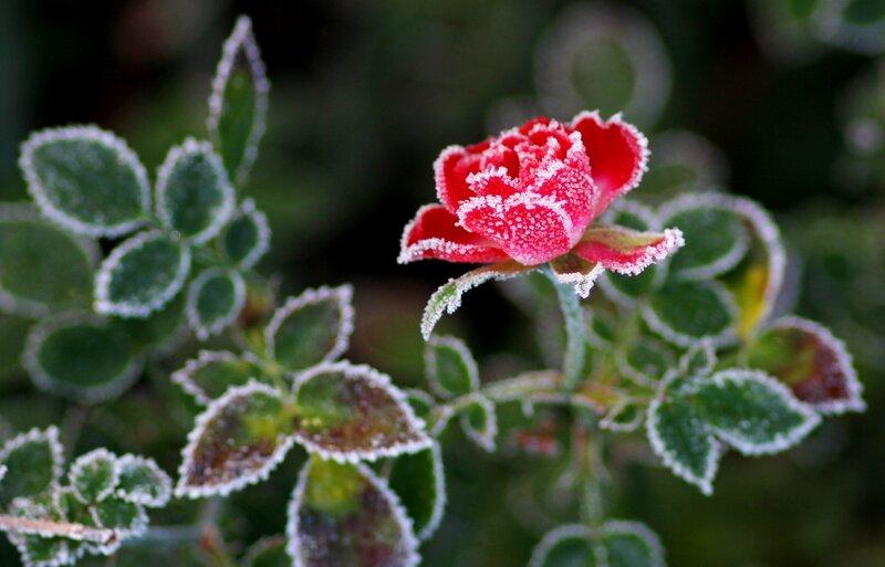 Королева всех цветов в кружевах зимы!