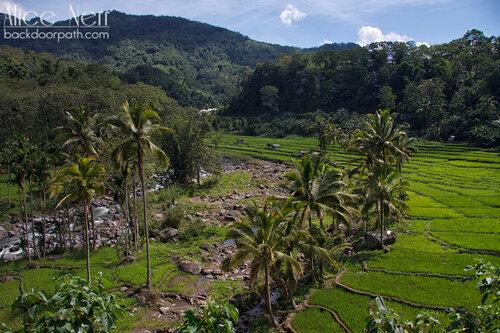 рисовые поля на острове Флорес, Индонезия