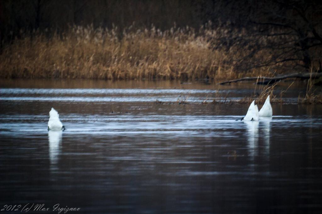 Лебеди - синхронное плавание