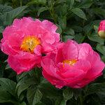 Календарь цветения пионов 2012г 0_6ff91_c01c2b29_S
