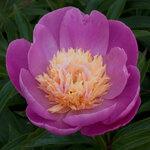 Календарь цветения пионов 2012г 0_6ffb2_bc62e852_S