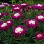 Календарь цветения пионов 2012г 0_6ffbe_564eb481_S