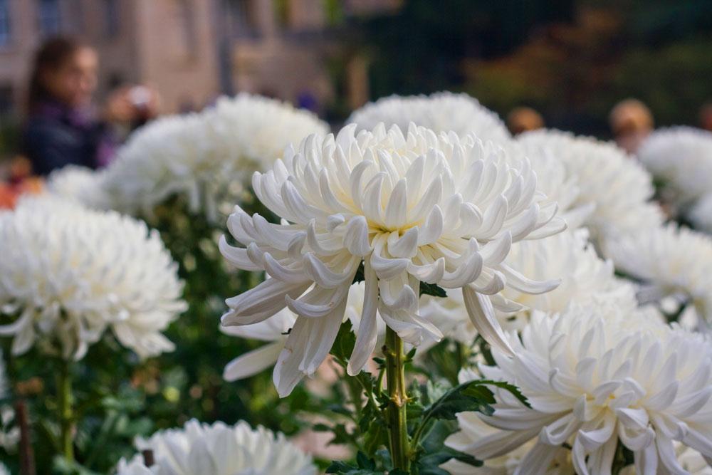 нынешнее картинки крупные хризантемы время
