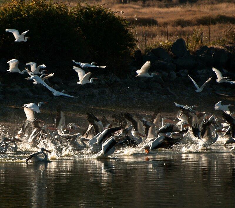 Пеликаний переполох