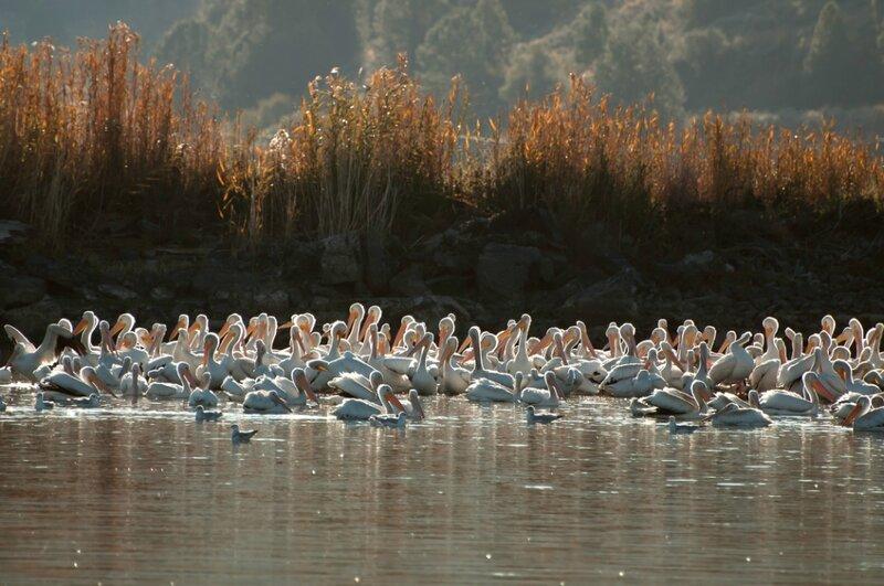 Царство пеликанов