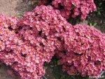 Бал хризантем, Никитский ботанический сад, КрымФАН, Вадим Бойко