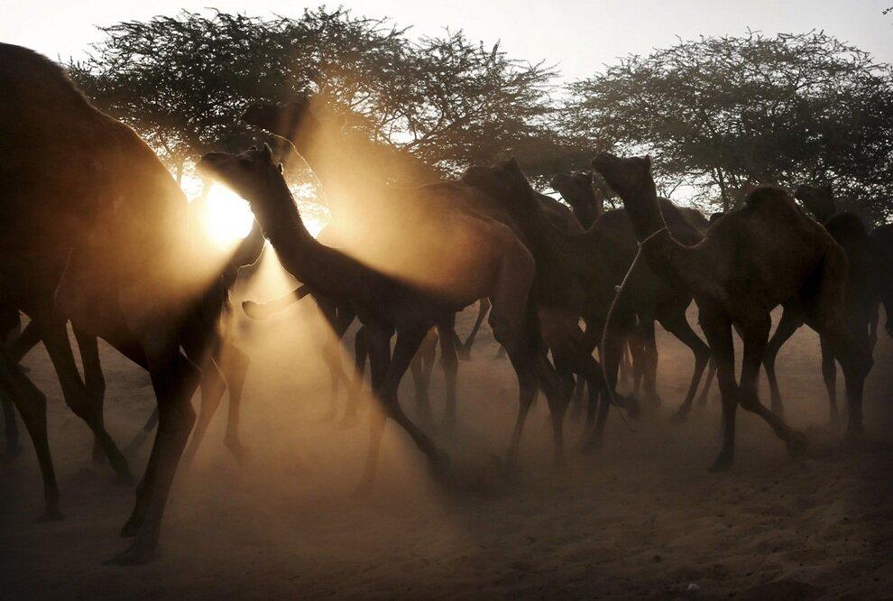 Стадо верблюдов, следующих за хозяином на ярмарку в Пушкар.