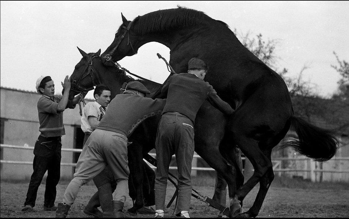 1955. Случка лошадей монсеньора Кана