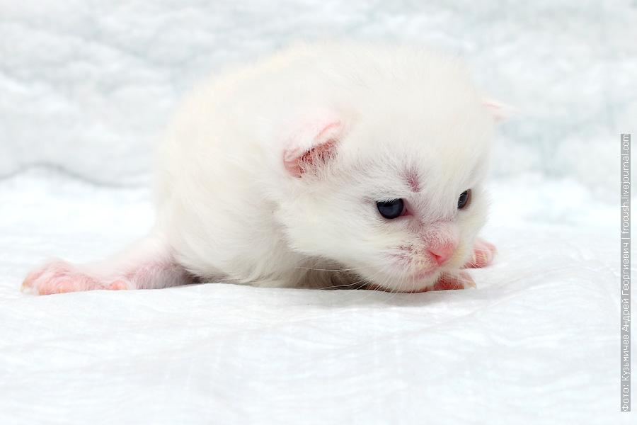 белый котенок Мейн-кун из питомника в Москве