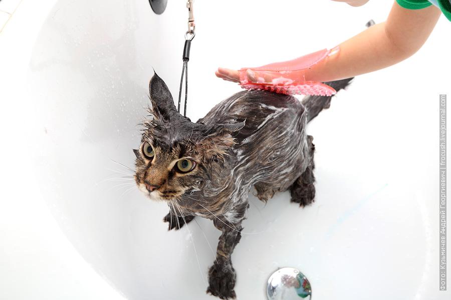Для лучшего проникновения в шерсть шампуня используем массажную варежку. Гладим кошку по шерсти