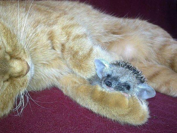 Кошка растит ежат