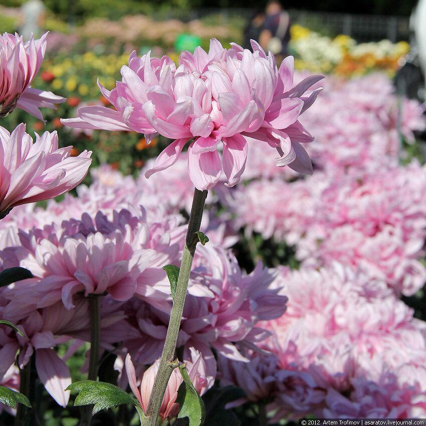 Хризантема как цветок лотоса