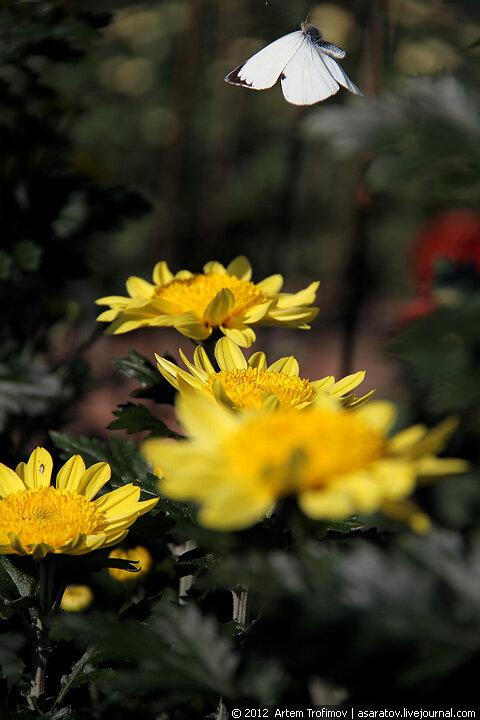 Бабочка в полете над желтыми хризантемами