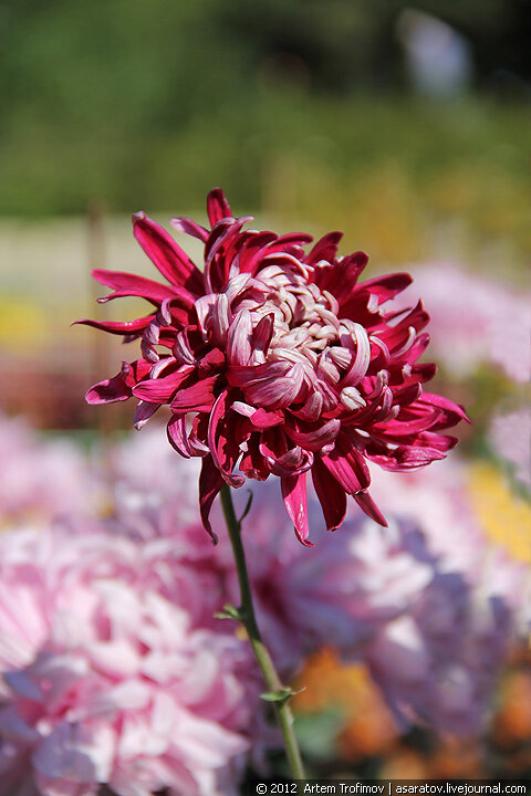"Одинокий цветок, ""Бал Хризантем 2012"""