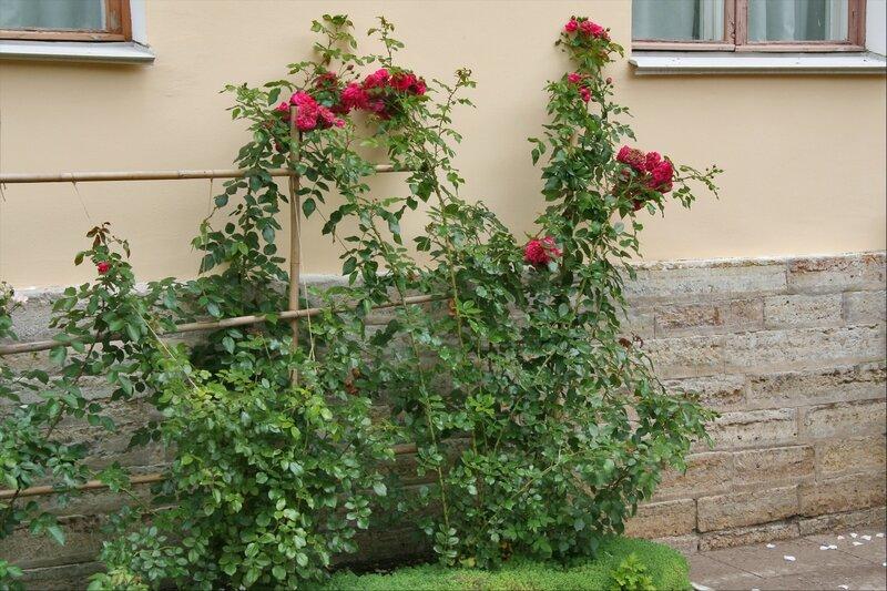 Собственный садик Марии Федоровны. Розы