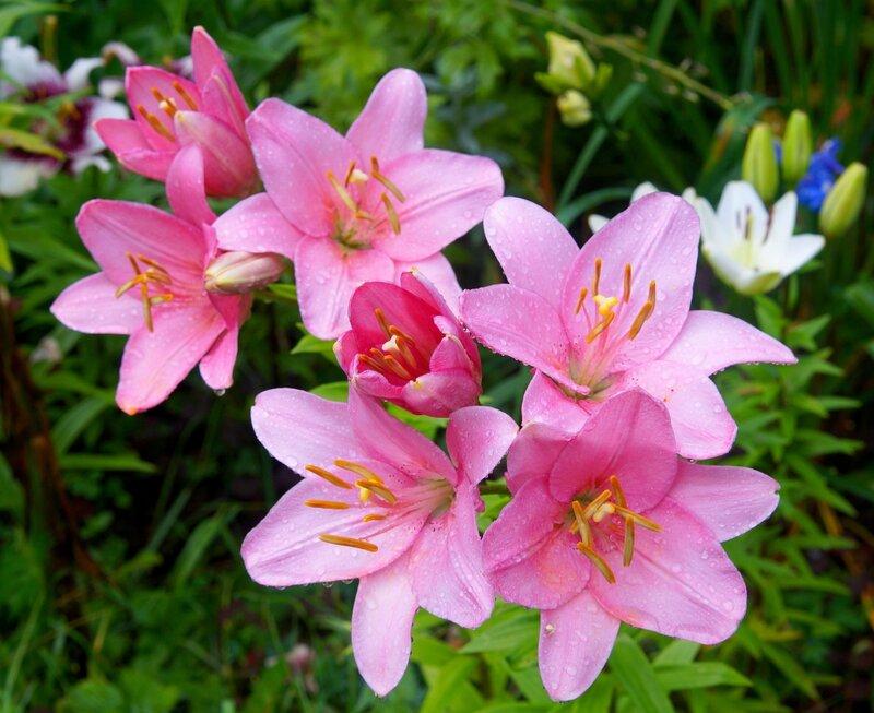 утренние лилии