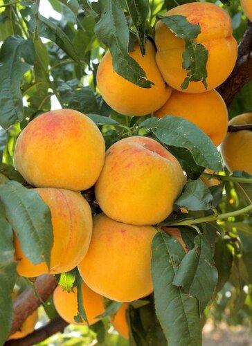 Персики................ ))