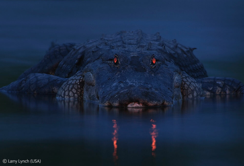 American Alligator at Nite