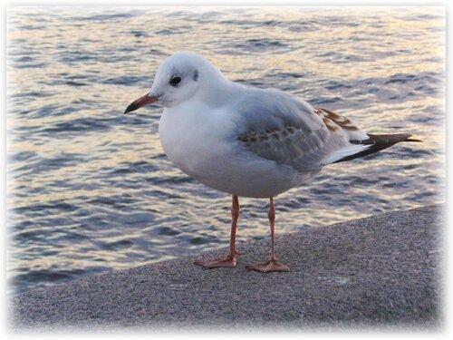 Чайка на Неве